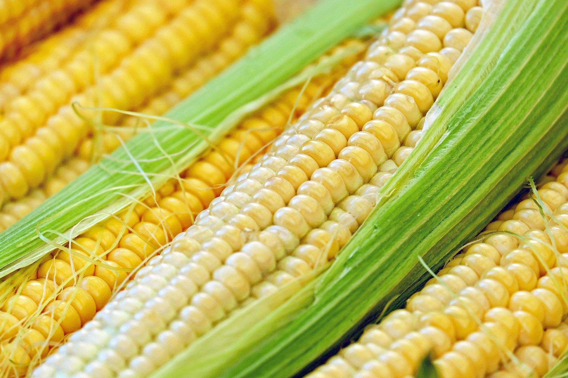 El 82 % del maíz en Colombia se importó